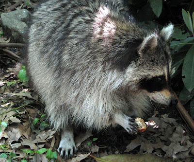 The Raccoon (Procyon lotor)