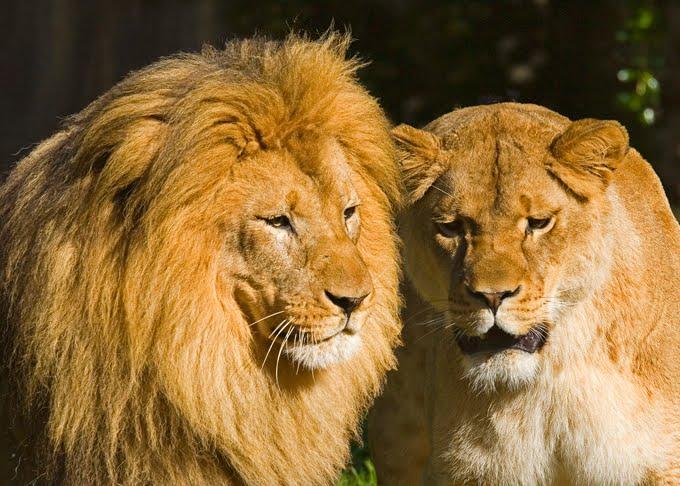 Imagens de Leões