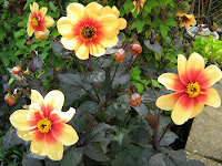 My absolute favourite - Dahlia 'Moonfire'