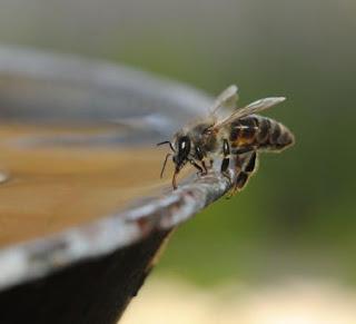 Μέλισσες που πίνουν νερό video