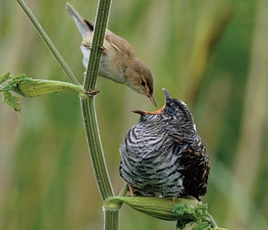 cuckoo and warbler relationship