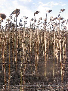 Field of dead sunflowers along the Gwydir Highway
