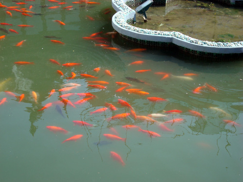 Chinese ornamental goldfish beijing visitor blog for Ornamental fish garden ponds