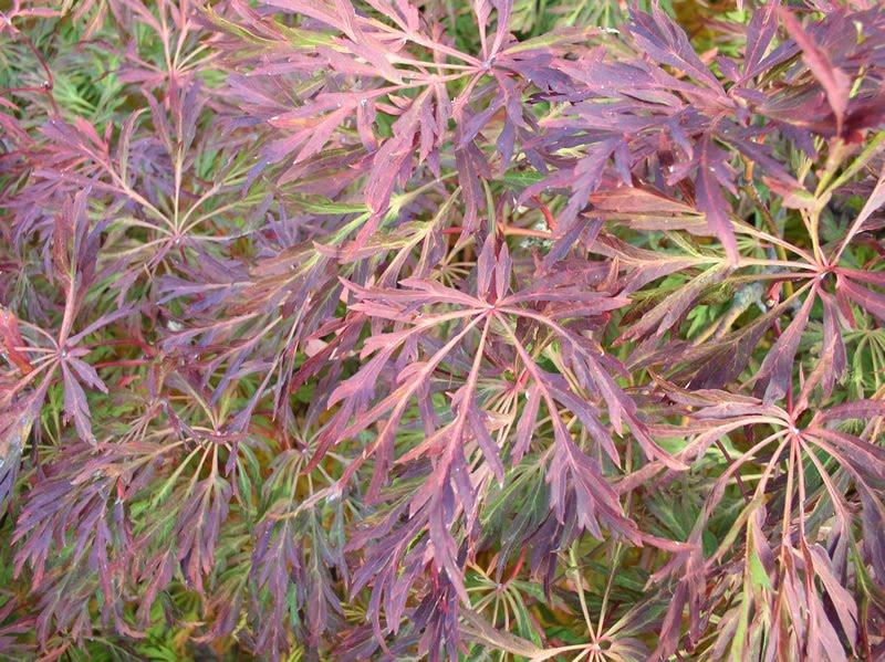 Victoria Gardens Full Moon Maple 20 Off Japanese Maple Acer