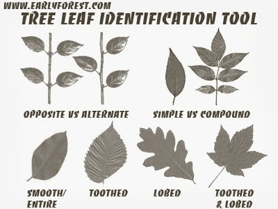 Select the category that best describes leaf you are trying to identify also early forest tree photography and information rh earlyforest