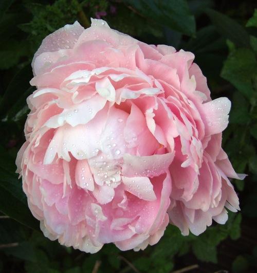 Top ten kentucky perennial flowers louisville ky interior top ten kentucky perennial flowers mightylinksfo Choice Image