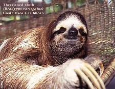 الحيوان الكسلان زعم أنه مخلوق غريب في بنما
