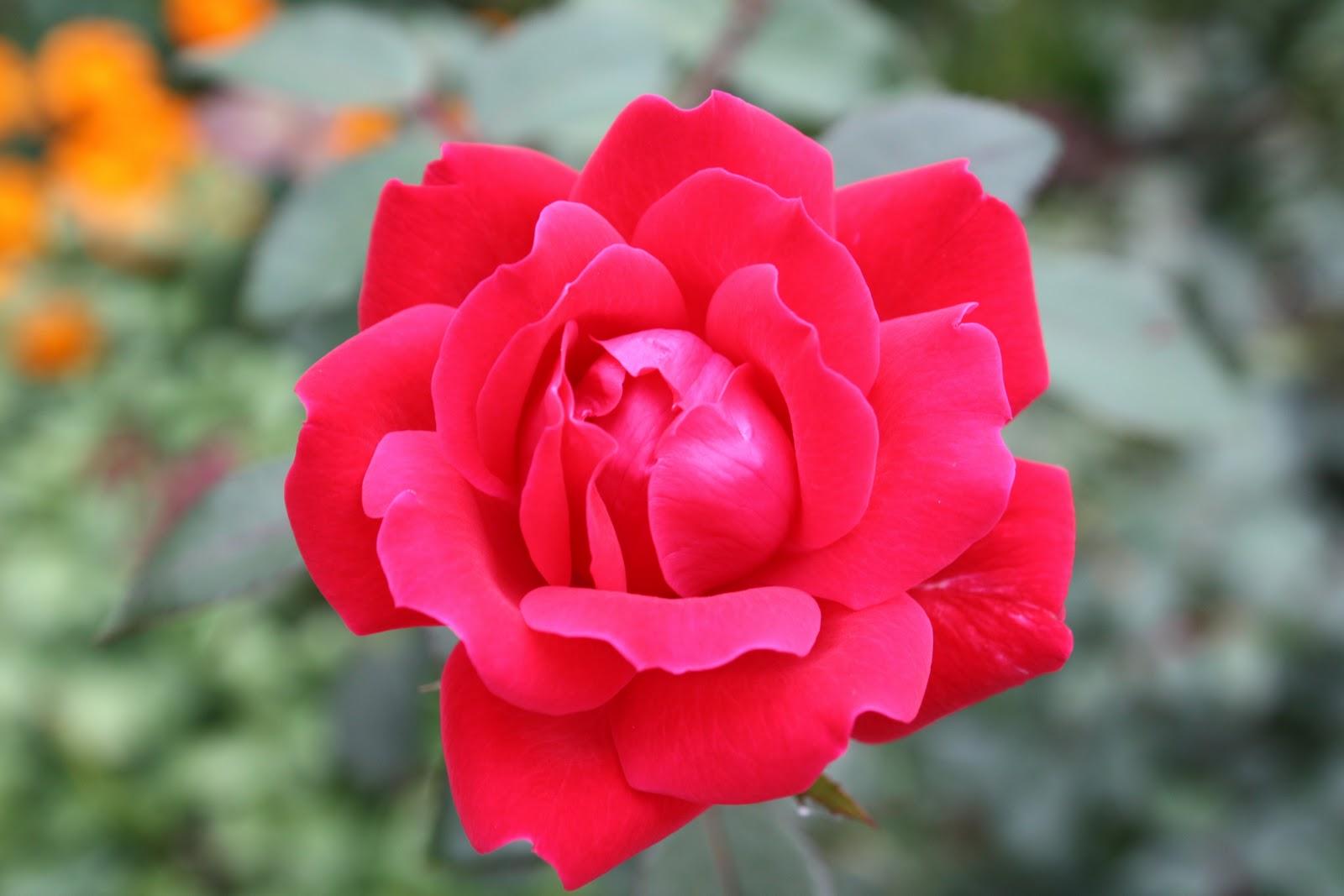 Roses In Garden: Gatsbys Gardens: Sep 20, 2010