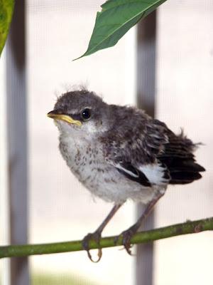 Tiny Baby Mockingbird - catandturtle  Newborn Mockingbird