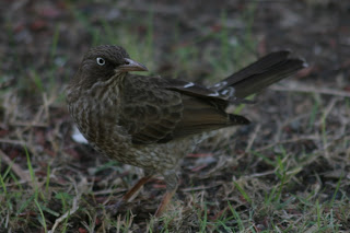 Pearly-eyed Thrasher, Guanica, Puerto Rico