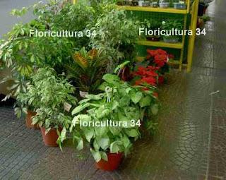 Floricultura 34 industria de las plantas de follaje for Viveros ornamentales