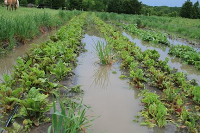 Flooded chard field.
