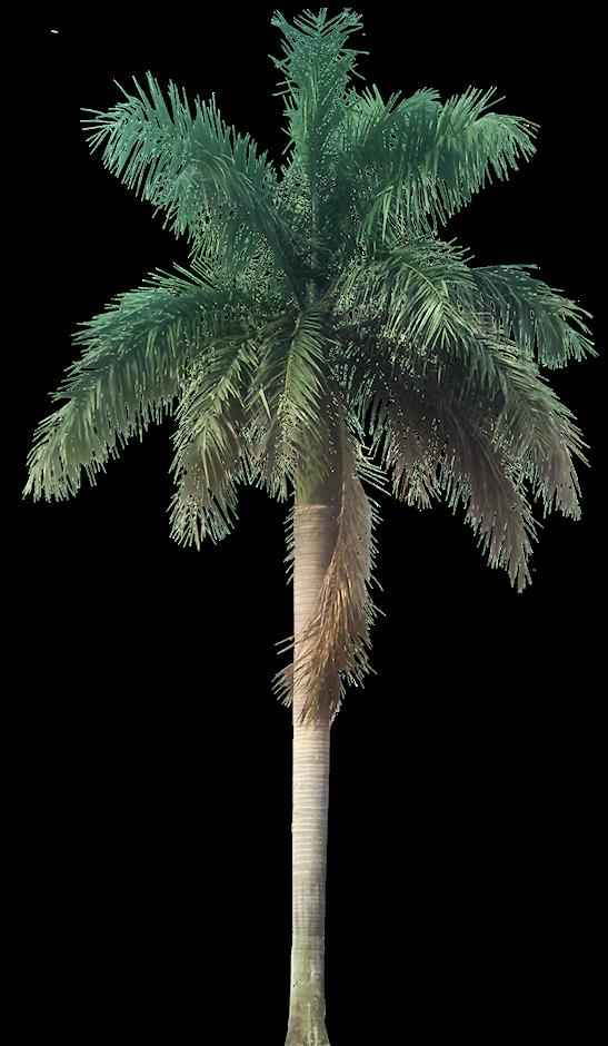 Tropical Plant Pictures: Roystonea Regia (Royal Palm)