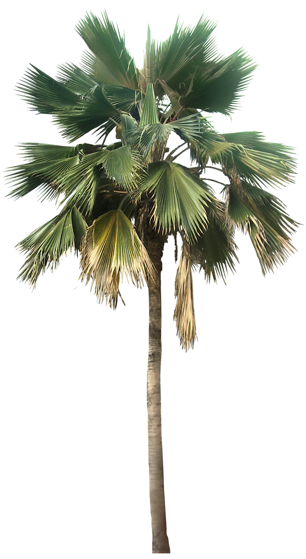 Tropical Plant Pictures: Pritchardia pacifica (Fiji Fan Palm)