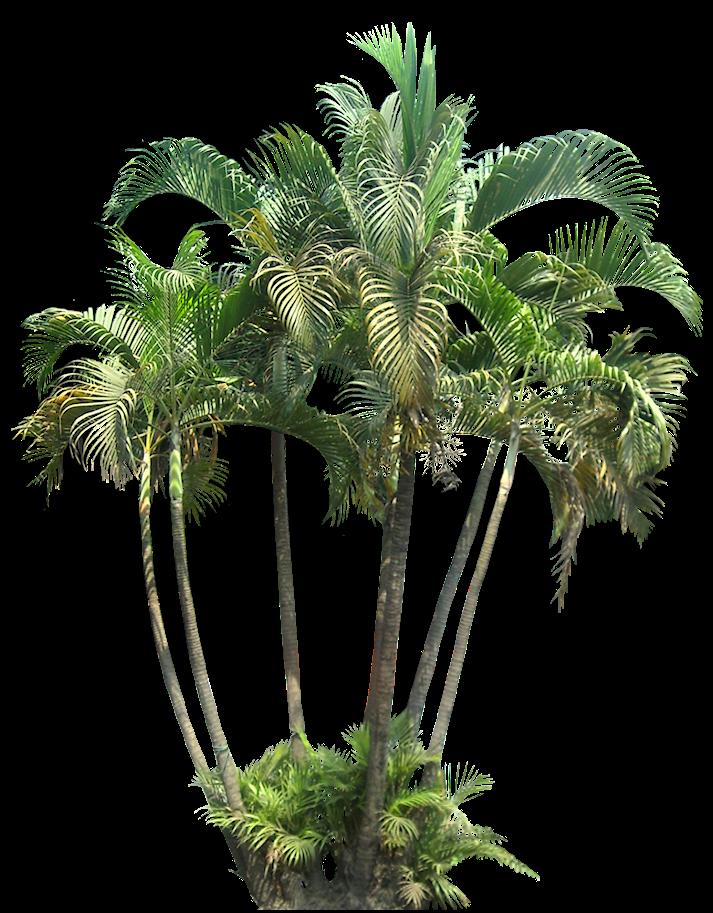 Tropical Plant Pictures: Chrysalidocarpus lutescens ...