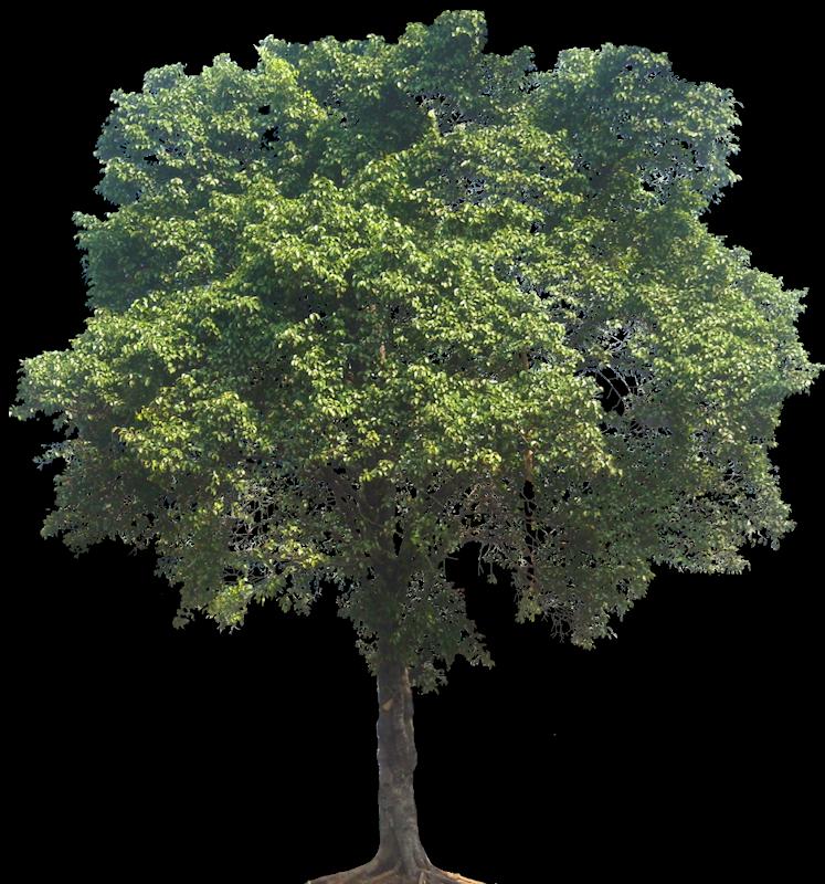 Ficusnemyamina04l Png 747 800 Pixels Photoshop Landscape Garden Illustration Trees To Plant