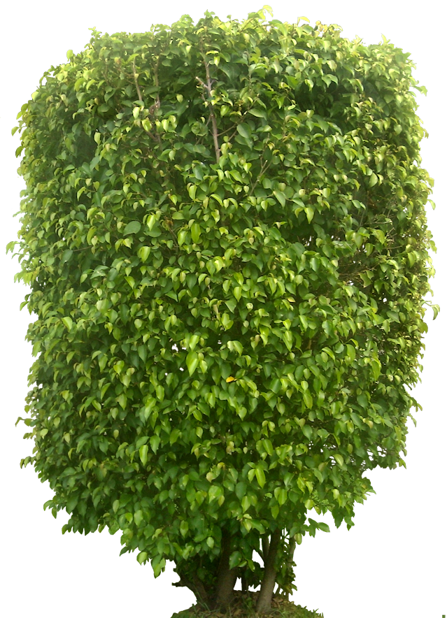 Tropical Plant Pictures: Ficus Benjamina (Weeping Fig)