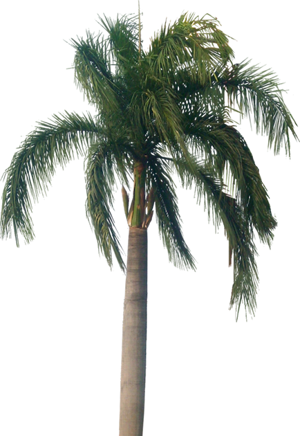 Tropical Plant Pictures: Roystonea Regia (Royal Palm)