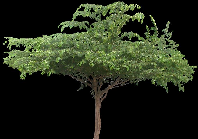 Tropical Plant Pictures Muntingia Calabura Jamaican Cherry