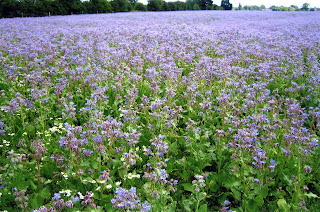 Common Agricultural Policy Boom In Borage