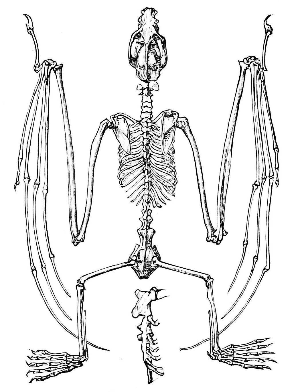 Vintage Ephemera Illustration Skeleton Of A Flying Fox