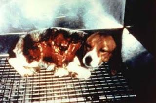 Cachorro de beagle sometido a test Draize (Draize Skin Test).