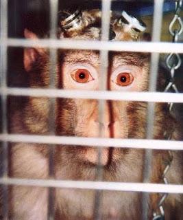 Macaco Elisa, vive en el laboratorio del Instituto de Neurología en Londres; electrodos y tubos están implantados en su cráneo de forma permanente.