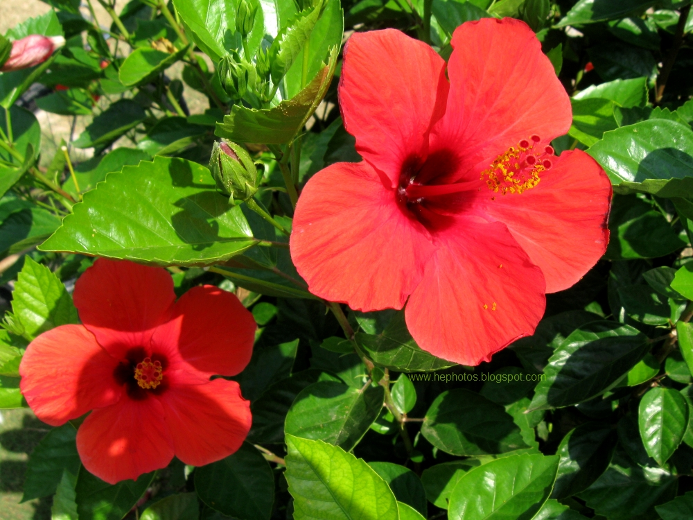Another amateur photographer red hibiscus flowers for Beautiful flowers to plant in your garden
