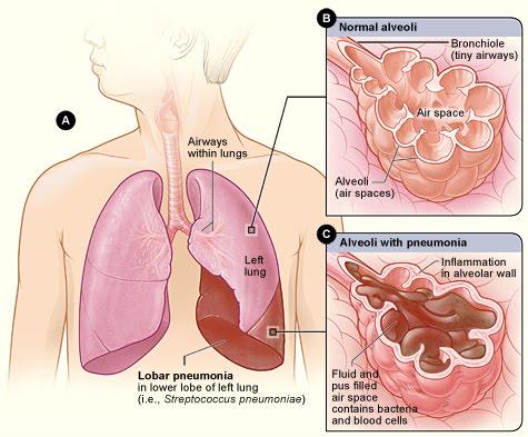 plămânii omului