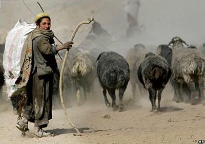 afghan_shepherd.jpg