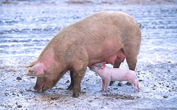 Picture of sow and piglet taken from Wikipedia.org