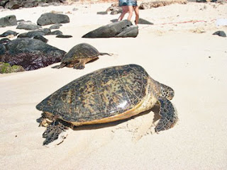 This photo was taken from the Honolulu Star Bulletin website, but it has been attributed to Malama Na Honu.