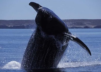 Whale Watching - The Leap of the Whale in Valdes Peninsula Patagonia Argentina