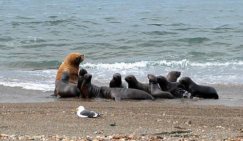 Hembra con varias crias en Punta Norte