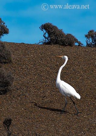 Garza Blanca, Ave Migratoria de Península Valdés caminando en la playa del canal de ataque en Punta Norte