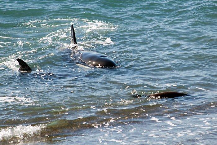 ataque de orcas en Punta Norte