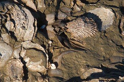 fósiles marinos en Península Valdés