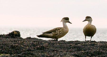 Pato Crestón ave de Península Valdés Patagonia Argentina