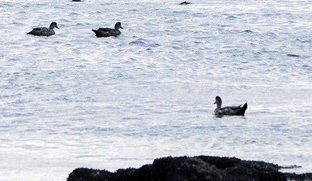 Pato Crestón en un charco formado por la marea baja en las Cuevas Puerto Pirámides