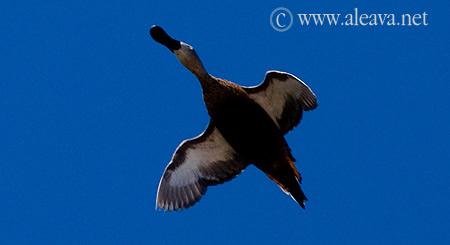 Aves de Península Valdés Pato Cuchara