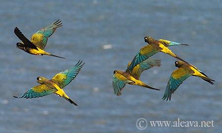 Loros barranqueros aves de Patagonia Argentina