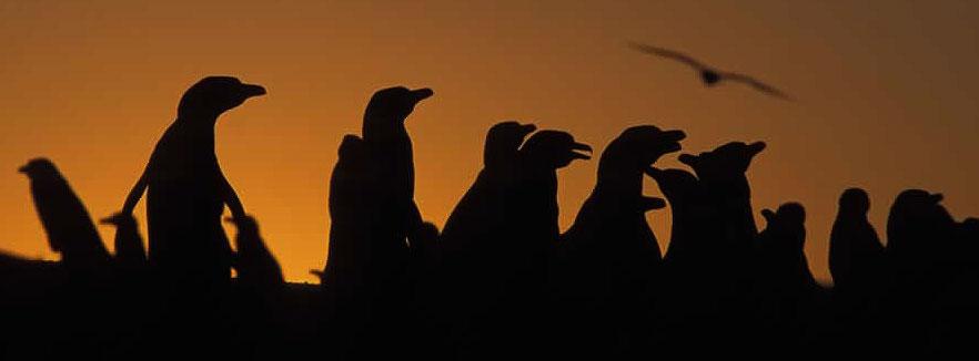 Magellanpingviner samles også søløver, søelefanter, rethvaler, spækhuggere og to delfinarter på og ved kysten i løbet af året