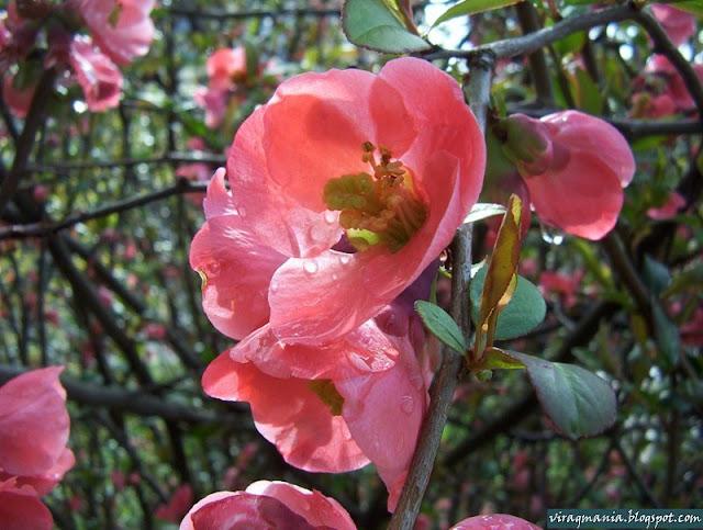 japánbirs virág