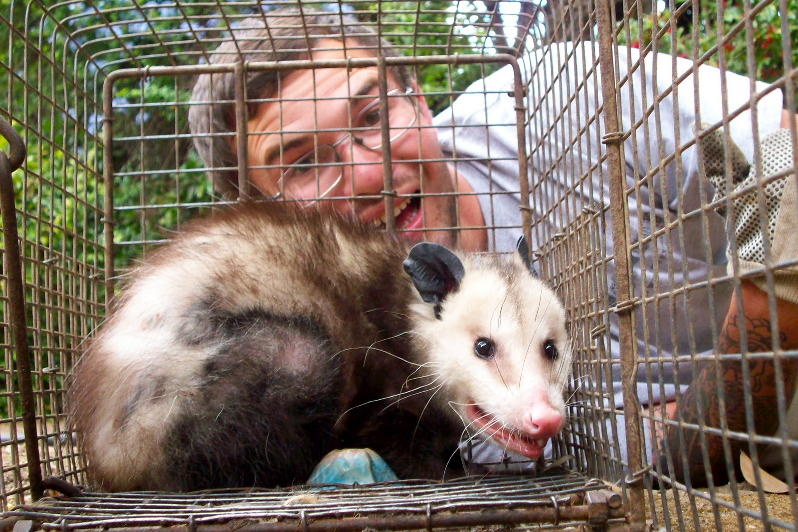 All City Animal Trapping Opossum Trapping Opossum