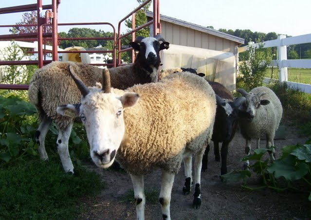 Valley View Farm Sheep