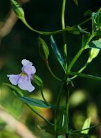 mimulus ringers Allegheny monkey flower electrolytes