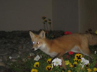 GORE-TEX TransRockies Run fox