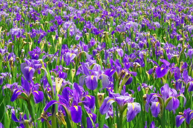 how to draw a blue violet flowers in a field