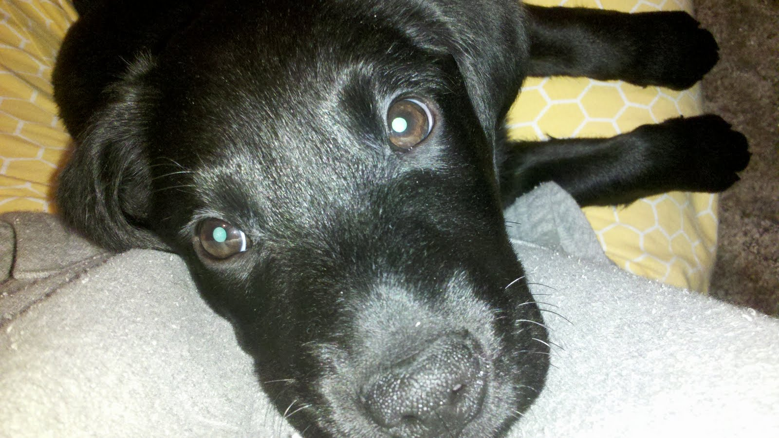 Pics For > Black Border Collie Lab Mix Puppy