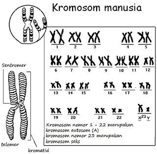 Makalah Genetika Penentuan Jenis Kelamin Penyimpangan Orientasi Seksual Kajian Psikologis Dan Kromosom Yang Tidak Ada Hubungannya Dengan Penentuan Jenis Kelamin